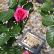 Memorial Plaque and rose bush